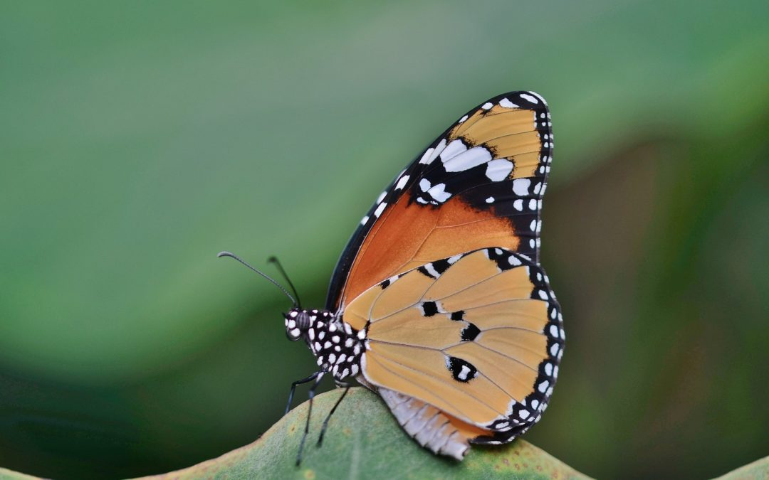 Histoire inspirante: le papillon et la chrysalide